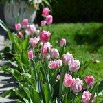 Tulips up the walkway