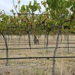 Kangaroo in the vines