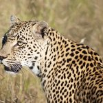 female leopard that Texan and Amos tracked for us!