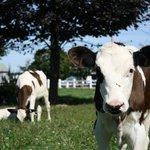 Calves at Richardson's Farm