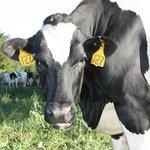 Cows at Richardson's Farm