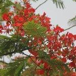 Flames of Krishnachura flowers in the garden