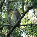 Red Shouldered Hawk joined us as we lingered quietly at the end of the boardwalk