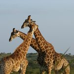 The Famous Bonamanzi Giraffe