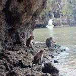 Macaques waiting to be fed