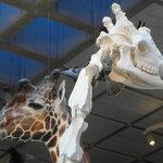 Museon giraffe and skull