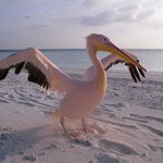 Aisha - the pink pelican that lives on Maaga Island