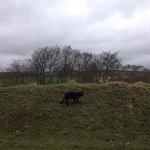 little black lambs on the moor.