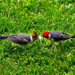 red-headed cardinal + immature