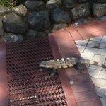 Iguanas are everywhere