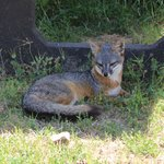 Grey fox on Santa Cruz Island