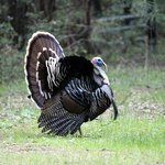 The very regal and LOUD turkey