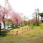 飯山城址公園・・・枝垂れ八重桜