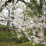 飯山城址公園・・・ソメイヨシノ
