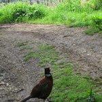 サントノラ島のキジ(トラクターの跡があるので葡萄畑の入り口)