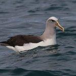 Bullers southern Albatross