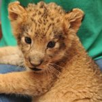 """""""Africa"""" 2012 baby Lion"""