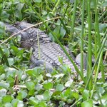 alligator near fishing pier