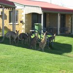 Ensuite cabins with occasional kangaroos during summer