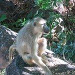 Baboons everywhere