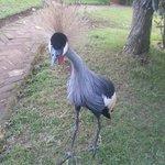 Crowned crane - Henry