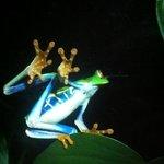 une célèbre grenouille costaricienne