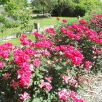 Parking lot roses