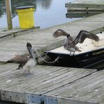 pelicans on deck