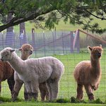 Alpacas At the Trumpeter Inn