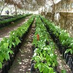 Cacao tree seedlings in the nursery
