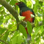 Brightly colored Trogon (bird), one of many in the area