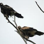 Wedge tailed eagles