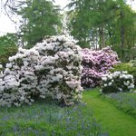 Rhododendrons in May