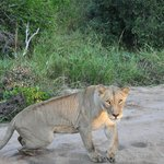 Lioness, early morning 30 April 2013