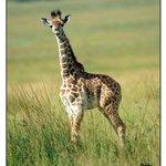 Baby Giraff