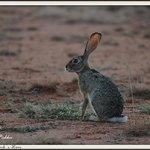 Fox eared Hare