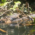 Caiman seen from canoe on one of our excursions