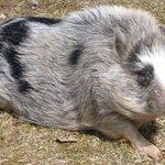 Victoria the pig...