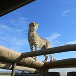 This cheetah jumped on top of our rig for a better view of the surroundings:)