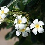 Fleurs de frangipanier (au bord de la piscine)