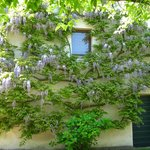 Wysteria growing on the house, looking from the garden area