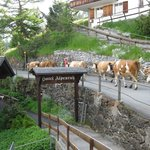 Cows passing in front of hotel on way to meadows above
