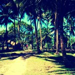 Coconut Trees again..