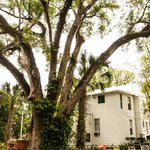 Large tree on grounds at Farnsworth House in Mt Dora Florida