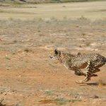 Velvet the cheetah at full speed sprint