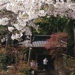 桜がキレイでした。