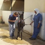 A vet and assistant working on an ulcer.