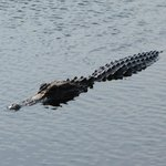 Alligator in Savannah Wildlife Refuge