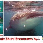 Whale shark encounters
