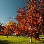 Scarlet Oaks